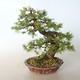 Outdoor bonsai -Larix decidua - Larch - 5/5