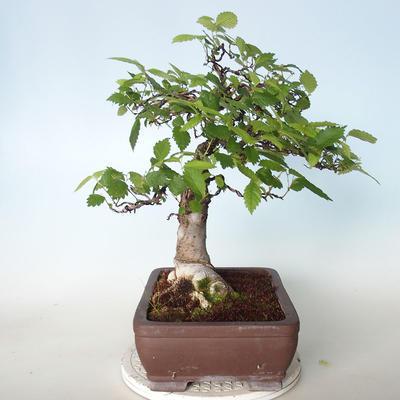 Outdoor bonsai - Zelkova - 5
