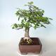 Outdoor bonsai - Zelkova - 5/5