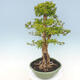 Indoor bonsai - Duranta erecta Aurea - 5/6