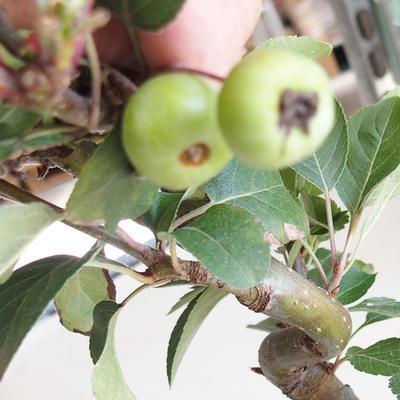 Outdoor bonsai - Malus halliana - Small-fruited apple tree - 5