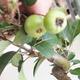 Outdoor bonsai - Malus halliana - Small-fruited apple tree - 5/5