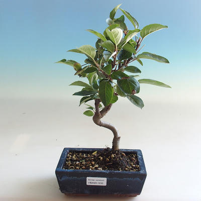 Outdoor bonsai - Malus halliana - Small-fruited apple tree - 5