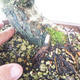 Outdoor bonsai-Ulmus Glabra-Solid clay - 5/5