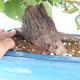 Outdoor bonsai -Mahalebka - Prunus mahaleb - 5/5