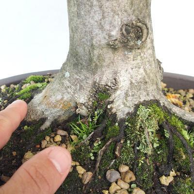 Outdoor bonsai - Hornbeam - Carpinus betulus - 5