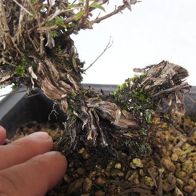 Outdoor bonsai - Satureja mountain - Satureja montana - 5