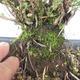 Outdoor bonsai - Satureja mountain - Satureja montana - 5/6