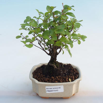 Indoor bonsai - Sagerécie thea - Sagerécie thea - 5