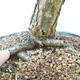 Outdoor bonsai - Pinus sylvestris Watereri - Scots Pine - 5/5