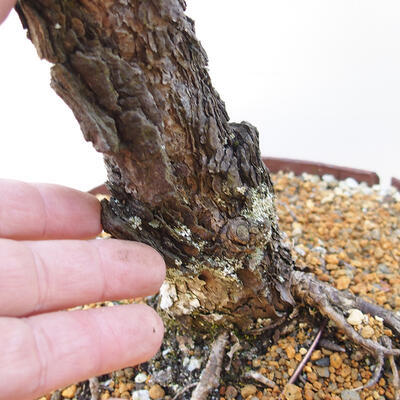 Outdoor bonsai - Pinus sylvestris - Scots pine - 5