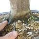 Outdoor bonsai - Hornbeam - Carpinus betulus - 5/5