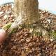 Outdoor bonsai - Boxwood - 5/5
