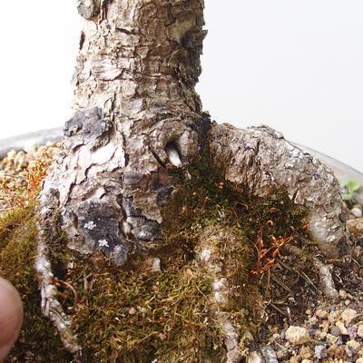 Outdoor bonsai - Larix decidua - Larch - 5