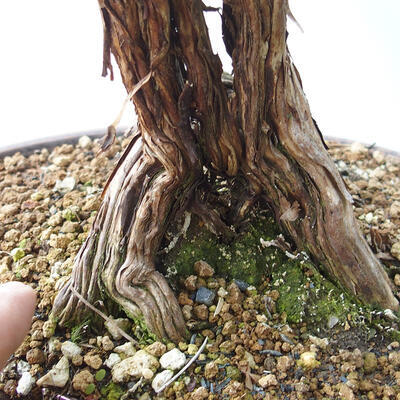 Outdoor bonsai - Cinquefoil - Potentila fruticosa yellow - 5