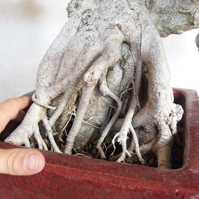 Room bonsai - Ficus nitida - small ficus - 5