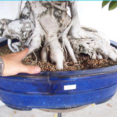 Room bonsai - Ficus kimmen - little ficus - 5