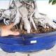 Room bonsai - Ficus kimmen - little ficus - 5/5