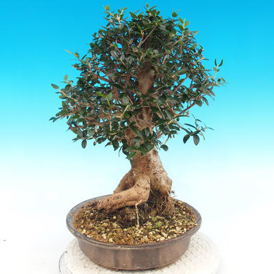 Indoor bonsai - Olea europaea sylvestris -Oliva european tiny - 5