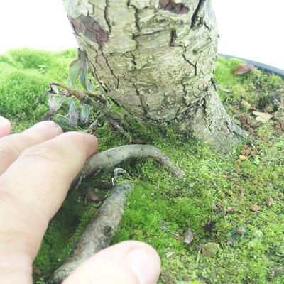 Outdoor bonsai - Hawthorn white flowers - Crataegus laevigata - 5