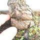 Outdoor bonsai - Pinus parviflora - Small-flowered pine - 5/5