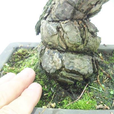 Outdoor bonsai - Pinus parviflora - Small-flowered pine - 5