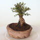 Outdoor bonsai - Ulmus parvifolia SAIGEN - Small-leaved elm - 5/7