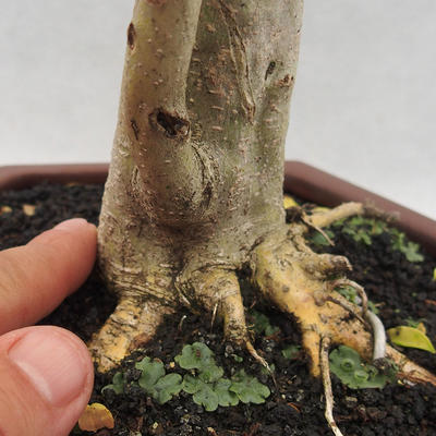 Indoor bonsai -Ligustrum Aurea - Bird's beak - 5