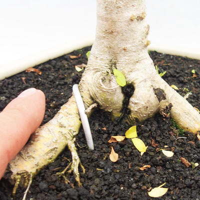 Indoor bonsai -Ligustrum Aurea - Bird's beak - 5