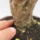 Indoor bonsai -Ligustrum Aurea - Bird's beak - 5/6