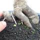 Indoor bonsai -Phyllanthus Niruri- Smuteň - 5/6