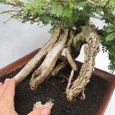 Indoor bonsai -Phyllanthus Niruri- Smuteň - 5