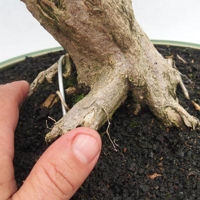Indoor bonsai - Cudrania equisetifolia - 5