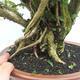 Indoor bonsai - Cudrania equisetifolia - 5/5