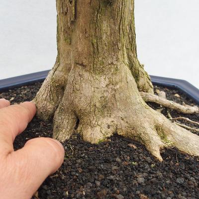 Indoor bonsai - Duranta erecta Variegata - 5