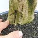 Indoor bonsai - Duranta erecta Variegata - 5/6