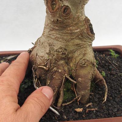 Indoor Bonsai - Fraxinus uhdeii - Indoor Ash - 5