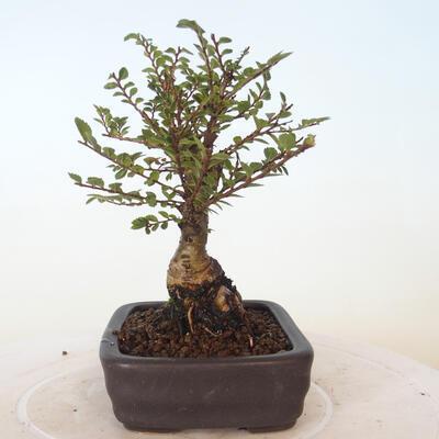 Outdoor bonsai - Ulmus parvifolia SAIGEN - Small-leaved elm - 5