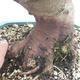 Outdoor bonsai -Malus Halliana - fruited apple - 5/6