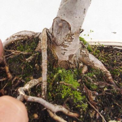 Outdoor bonsai -Malus Halliana - fruited apple - 5
