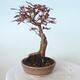Outdoor bonsai - Acer palm. Atropurpureum-Red palm leaf - 5/6