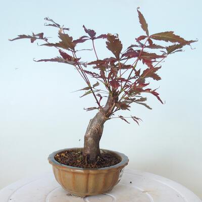 Outdoor bonsai - Acer palm. Atropurpureum-Red palm leaf - 5