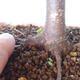 Outdoor bonsai - Maple palmatum sangokaku - Maple palm leaf - 5/5