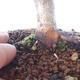 Outdoor bonsai - Maple palmatum DESHOJO - Maple palmate - 5/6