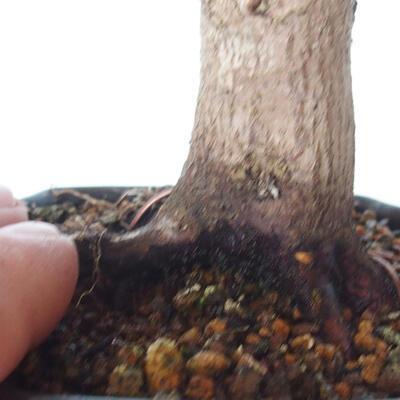 Outdoor bonsai - Maple palmatum DESHOJO - Maple palmate - 5