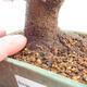 Outdoor bonsai - Buergerianum Maple - Burger Maple - 5/5