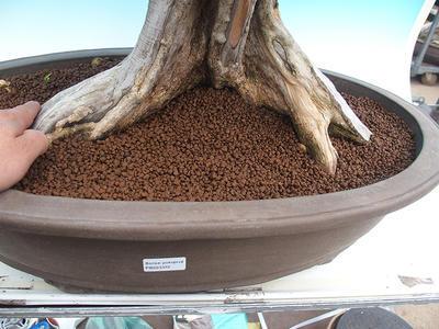 Room bonsai - Muraya paniculata - 5