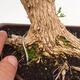 Indoor bonsai - Buxus harlandii - Cork boxwood - 5/7