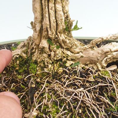 Indoor bonsai - Buxus harlandii - Cork boxwood - 5