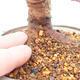 Outdoor bonsai - Zelkova - Zelkova NIRE - 5/5